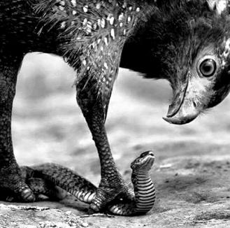EAGLE-SNAKE