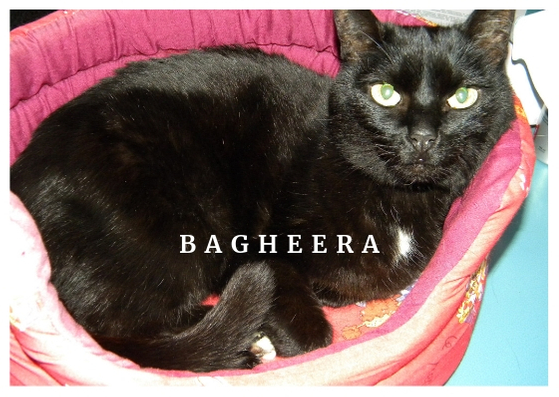Bagheera Chris Bellabas